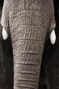 Horenstein_ANIMALIA_ElephantTrunk