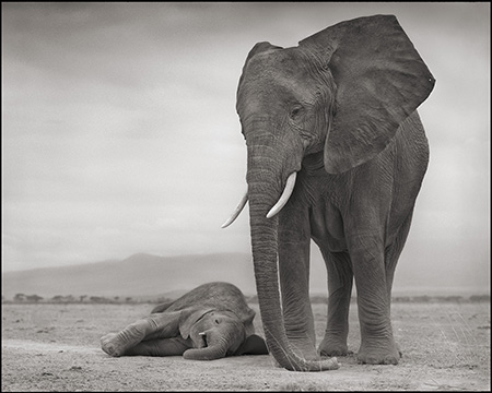 Elephant with Sleeping Baby