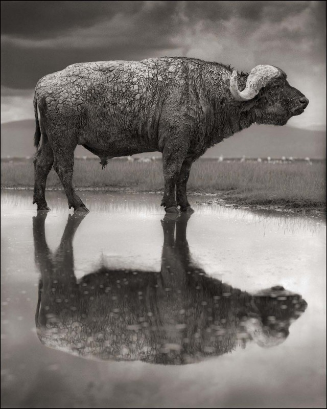Buffalo-with-Reflection-640x800