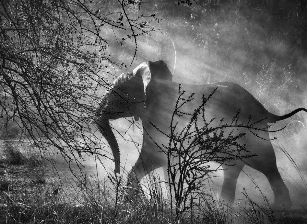 sebastiao-salgado-genesis-elephant